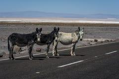 Lösa åsnor i Salar de Atacama, Chile Royaltyfria Bilder