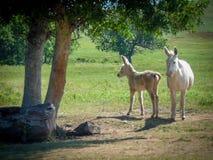 Lösa åsnor i South Dakota fotografering för bildbyråer