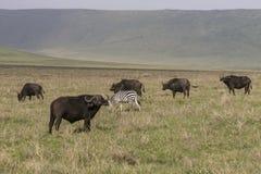 Lösa afrikanska bufflar och sebra Arkivfoto