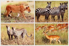 Lösa afrikanska djur - lejon, gepard, sebra, antilop i nationalparken Afrikansk collage Royaltyfria Bilder