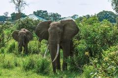 Lösa afrikanska elefanter som äter sidor arkivfoto