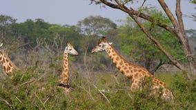 L?sa afrikanska giraff i busksn?ren av akaciabuskar och djungler lager videofilmer