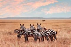 Lösa afrikanska sebror i den Serengeti nationalparken Löst liv av Afrika royaltyfri fotografi