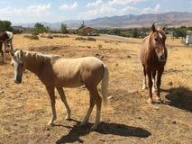 Lösa amerikanska mustanghästårsgamla djurungar Royaltyfria Bilder