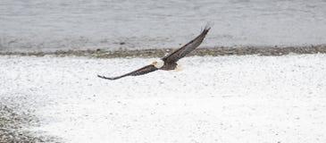Lösa amerikanska skalliga Eagle i flykten över den Skagit floden i Wash Arkivbilder