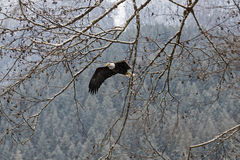 Lösa amerikanska skalliga Eagle i flykten över den Skagit floden i Wash Arkivfoto