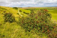 Lösa bär på Lancing ner, östliga Sussex, England arkivbild