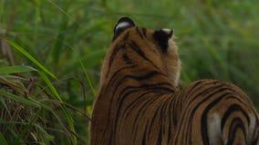 Lösa Bengal Tiger Panthera Tigris Tigris i den Kaziranga nationalparken, Assam, Indien royaltyfri fotografi