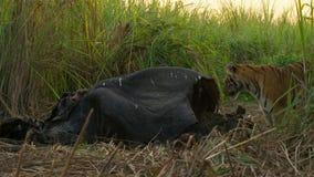 Lösa Bengal Tiger Panthera Tigris Tigris i den Kaziranga nationalparken, Assam, Indien arkivfoton