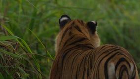Lösa Bengal Tiger Panthera Tigris Tigris i den Kaziranga nationalparken, Assam, Indien royaltyfria foton