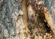 Lösa bin har gjort en bikupa i ett träd Arkivbilder