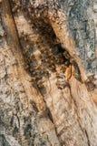 Lösa bin har gjort en bikupa i ett träd Fotografering för Bildbyråer