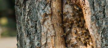 Lösa bin har gjort en bikupa i ett träd Arkivfoton