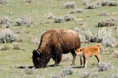 Lösa Bison Buffalo Cow och kalv Arkivfoton