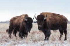Lösa Bison Standing i den Colorado snön Royaltyfria Foton