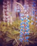 Lösa blåa lupines som växer i sommarfältet, fantasi färgar Arkivbild