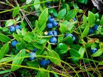 Lösa blåbär i en kanadensisk skog royaltyfri foto