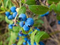 Lösa blåbär som täckas med fina spindelrengöringsdukar arkivfoton