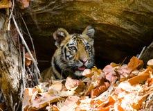 Lösa blickar för den gröngölingBengal tigern ut från vaggar i djungeln india 17 2010 för india för elefant för bandhavgarhbandhav Royaltyfria Foton