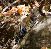 Lösa blickar för den gröngölingBengal tigern ut från vaggar i djungeln india 17 2010 för india för elefant för bandhavgarhbandhav Arkivbild