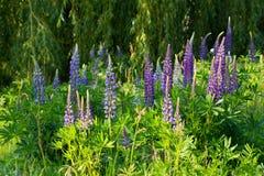 Lösa blommande blåa lupines royaltyfria foton