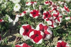 Lösa blommor Royaltyfria Bilder