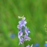 Lösa blommor av Michigan Royaltyfri Fotografi