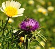 Lösa blommor av tusenskönan, mjölkar tisteln och bin Arkivbilder