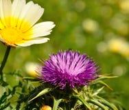 Lösa blommor av tusenskönan och mjölkar tisteln Royaltyfria Bilder