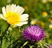 Lösa blommor av tusenskönan och mjölkar tisteln Arkivbild
