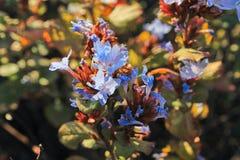Lösa blommor, en grupp av lite urblekta blått färgar blomman Arkivfoto