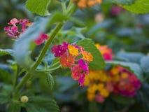 Lösa blommor för höstbuske Royaltyfri Foto