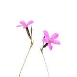 Lösa blommor för jungfru- rosa färger som isoleras på vit Royaltyfri Bild
