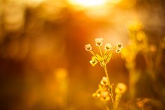 Lösa blommor för tusensköna i solnedgång Royaltyfri Bild
