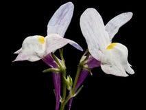 Lösa blommor för TX som är vita med mörk bakgrund Royaltyfria Bilder