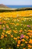 Lösa blommor för vår nära Cape Town Arkivbilder