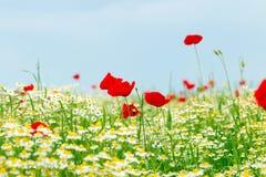 Lösa blommor för vallmo och för kamomill Fotografering för Bildbyråer