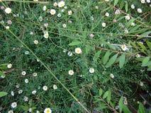 Lösa blommor för vit färg i Sintra, Portugal Arkivbilder