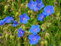 Lösa blommor med blåa kronblad Royaltyfri Fotografi