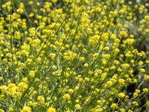 Lösa blommor på den Laguna kustvildmarken parkerar royaltyfri fotografi