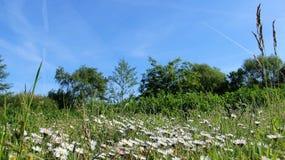 Lösa blommor som blomstrar, gör grön, färgrikt, naturligt, himmel, gräs, sneda bollen, sommar arkivfoton