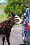 Lösa burros på vägen royaltyfri fotografi