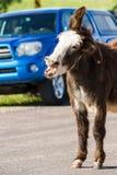 Lösa burros på vägen royaltyfri foto