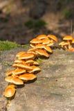 Lösa champinjoner för höst som växer på en trädstam Arkivbild