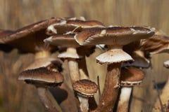 Lösa champinjoner i skog på en solig höstdag Royaltyfria Bilder
