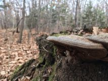 Lösa champinjoner på en stubbe, närbild Natur av hösten Arkivfoton
