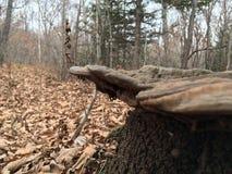 Lösa champinjoner på en stubbe, närbild Natur av hösten Arkivbilder