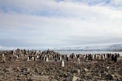 Lösa chinstrappingvin, Antarktis Arkivbild
