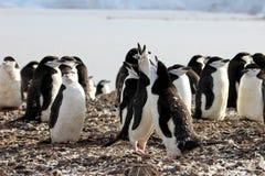 Lösa chinstrappingvin, Antarktis Arkivbilder