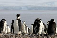 Lösa chinstrappingvin, Antarktis Royaltyfri Foto